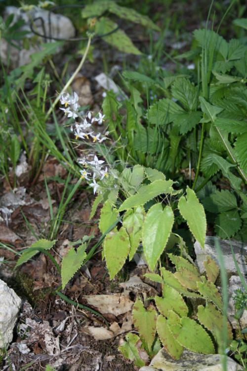 stellulatum-long-leaf-form-19-65bc7b60c8a174976.jpg