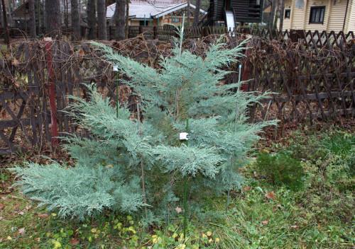 Juniperus_media_Hetz_19_05432354ac20004180.jpg
