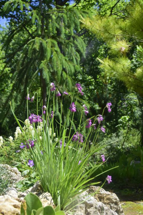 Allium-cyathophorum_20205836f7cbe0dcf273.jpg